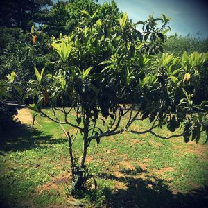 fruit trees and geopathic stress