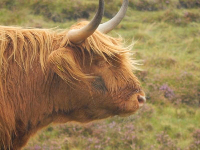 Fotospots in Schottland - Cattlecows sind echt knuffig.