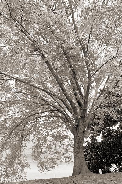 beech tree at Piedmont Park