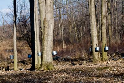 maple trees 1