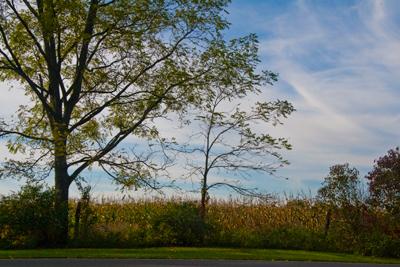 tree and cornfield