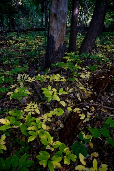 ground vegetation