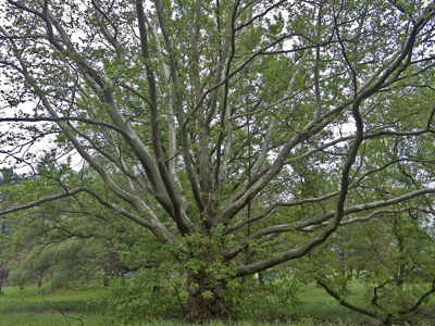 large sycamore
