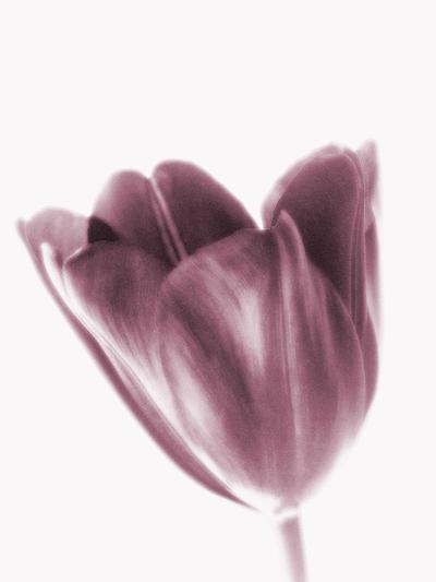 tulip art