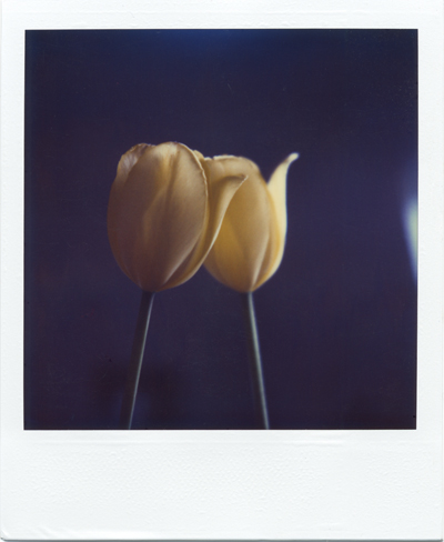 yellow tulips #1