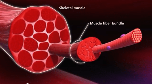 How muscles work – Know your muscle to grow your muscle