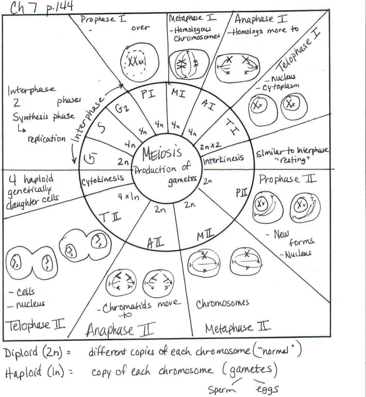 Mitosis Worksheets And Graphic Organizers