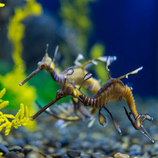 weedy sea dragon georgia