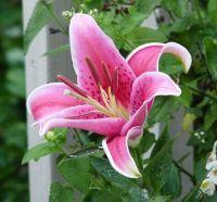 Georgia Backyard Nature: Surprise Stargazer Lily