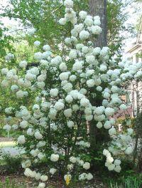 Georgia Backyard Nature: Spectacular Snowball Viburnum