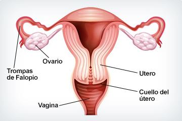diagrama del útero