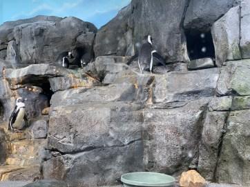 Penguin feeding_1082