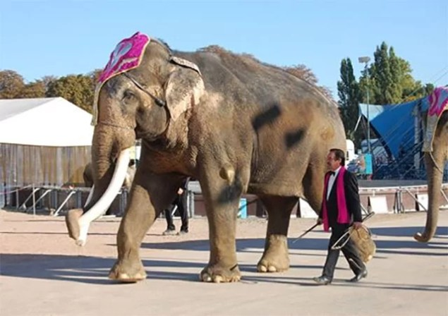 Foto: Elefantenbulle Colonel Joe im Circus Krone, Oktober 2010