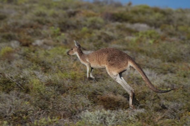 kangaroo03