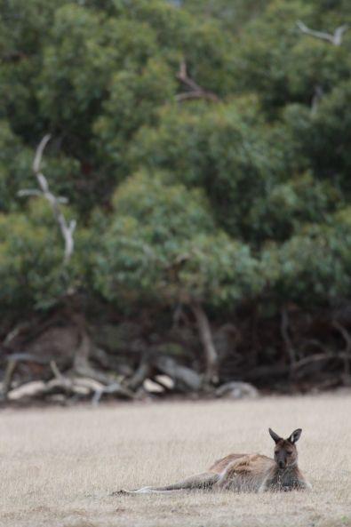 kangaroo01(3)