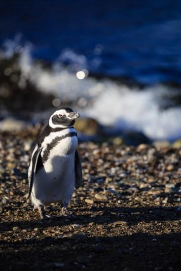 Pinguine auf der Isla Magdalena