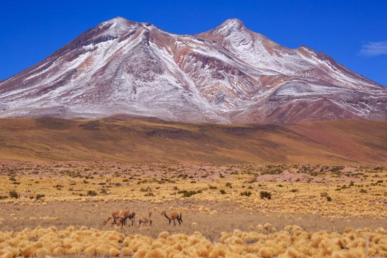 Guanacos vor dem Vulkan