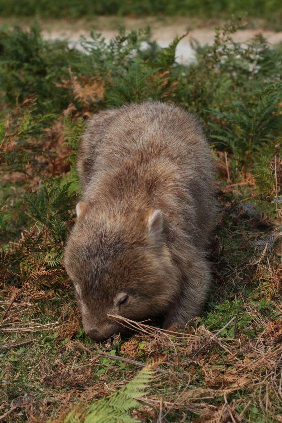 wombat01
