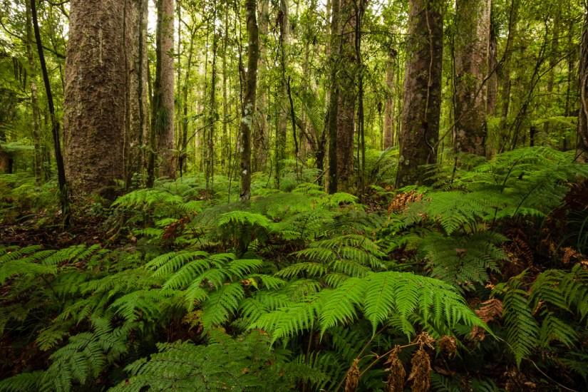 Trounson Kauri Forest