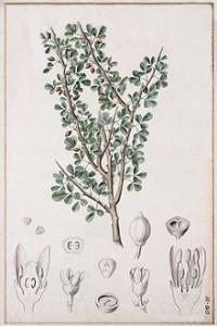 Myrrh, Courtesy of Wikipedia