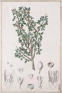 Heath remedies - Myrrh