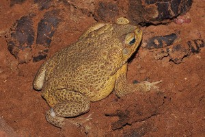 Male Cane Toad Native to Central and South America, Courtesy of Wikipedia