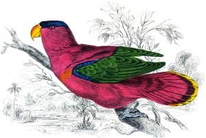 Parrots - Rosille or Purple Parrot