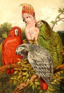 Parrots: Top to bottom: Leadbeater Cockatoo, Scarlet Lory, Green Parrot,and African Parrot
