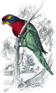 Parrots - Variegated or Ceram Lory, Author's Collection