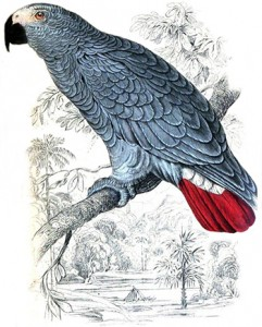 African (Gray) Parrot, Author's Collection