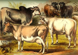 Animal Accidents - Cattle from a Victorian Print