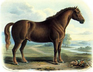 7-year-old Suffolk Punch in mid 1800s, Author's Collection