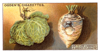 Ogden's offered advertising trade cards with a pack of cigarettes. This one comes from a set called poultry rearing and management and described methods to feed poultry using cabbages, Brussels sprouts, and other large root vegetables. Author's Collection.