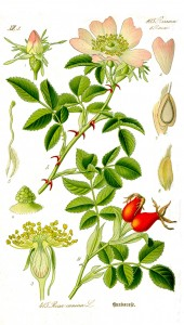 Growth Cycle of the Dog Rose, Courtesy of Wikipedia