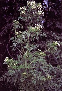 Hemlock, Courtesy of Wikipedia