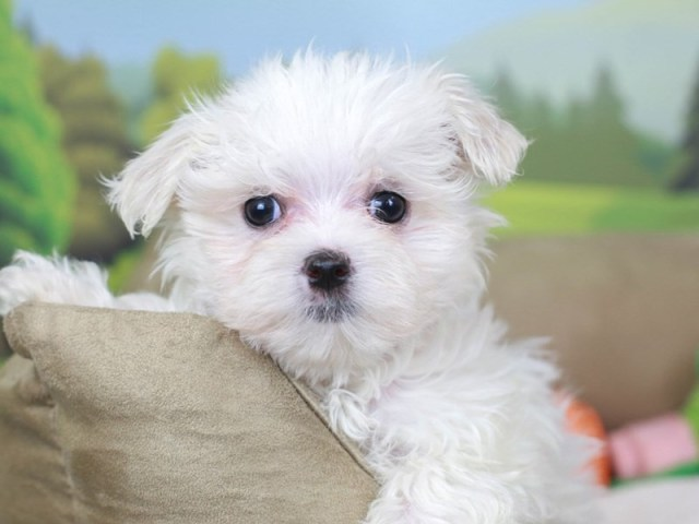 Maltese puppy from the Maltese kingdom scam online