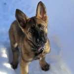 Red Sable German Shepherd Puppy Vs Belgian Malinois A Quick Look
