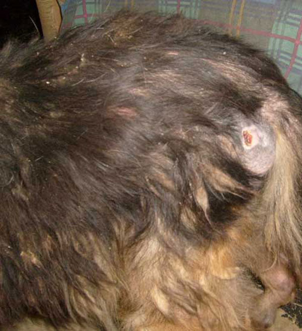 Dog Skin Lesions | Dog Breeds Picture