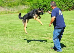 Handler - German Shepherd Protection Dogs for Sale