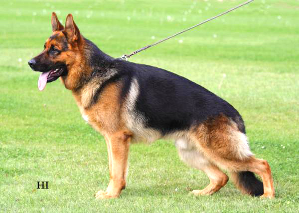 Executive Protection German Shepherd