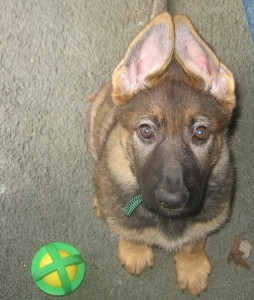 Puppy power: he can read minds!  - German Shepherd Protection Dogs for Sale