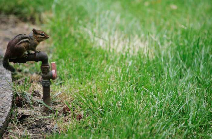 A chipmunk sits on top of a natural gas line in my family's back yard in Louisville, KY. ©2009 Max Gersh