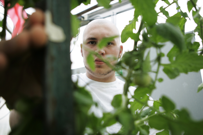 Zach Henderson, junior at Tri High, ties up a tomato plant in Tri's greenhouse Wednesday afternoon during Dan Webb's horticulture class. Henderson says tying up the plants gives them more room to flower out. (C-T photo Max Gersh)