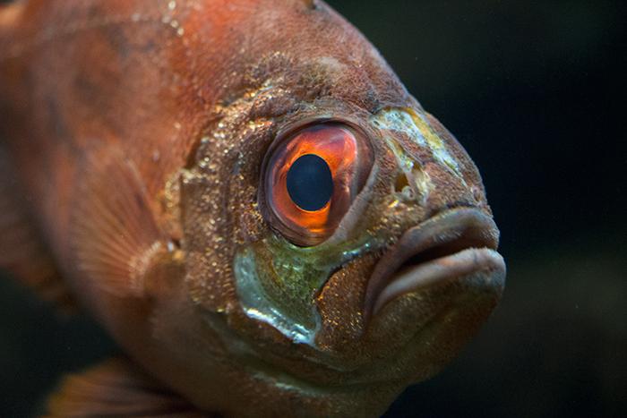 Popeye catalufa at Shedd Aquarium