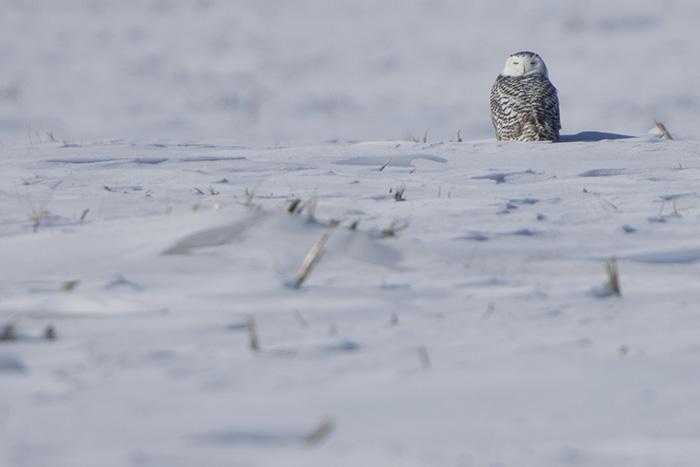 Snowy owl