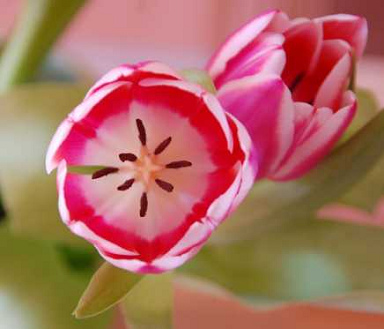 Holland Tulpen und Tulpenzwiebeln
