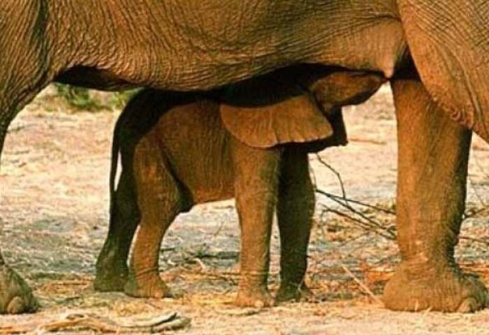 La Gestación De Un Elefante