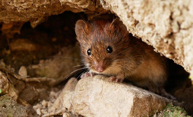 Hantavirus – wie gefährlich ist der Mäusewirt für uns?
