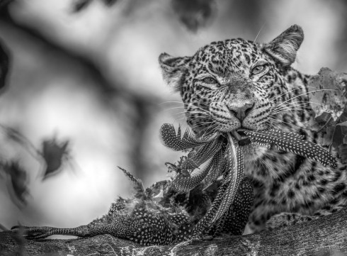 I witnessed a very special moment at Mashatu Game Reserve in Botswana, when a leopard took down a guinea fowl and began feasting on it. The black and white on the guinea fowl made for an opportunity to convert to black and white with interesting effect. By Jaco Marx, Bethlehem. Canon 1Dx, Canon 500mm f/4L, ISO 1250, f/4.0, 1/3200 sec.