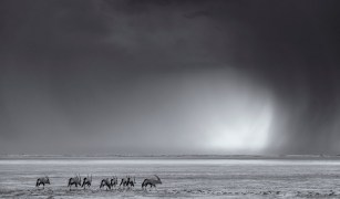 Etosha is hot, unforgiving land for most of the year. However, towards the end of November a transformation happens – clouds start to form, moisture is tangible in the air, and storms start to build across the endless horizon. Here, a herd of gemsbok (oryx) move across the vast Etosha Pan in the direction of the first real summer storms, making for an atmospheric scene as they faced the elements. Nikon D800, Nikkor 70-200mm f2.8 VR-II, ISO 900, f/8, 1/400 sec – By Morkel Erasmus, Secunda